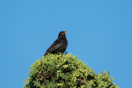 European blackbird singing from the top of a thuja under a clear blue sky