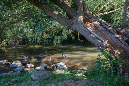 Some mallard ducks in a stream in the shadow of a big tree with spots of sun in the old town Ribe Denmark