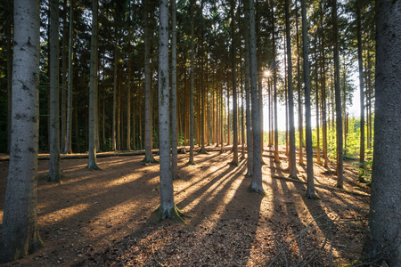 Backlit pine wood in evening light Stock Photo