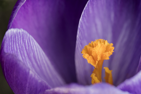 Close up macro of a violet or purple colored crocus flower with selective focus at the stamen Reklamní fotografie