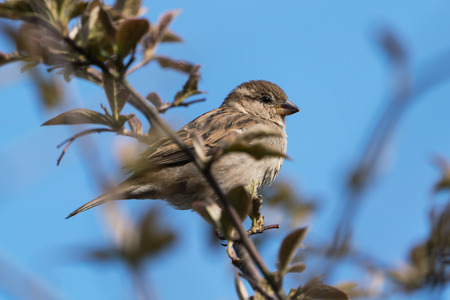 House sparrow female bird perched behind twigs under a clear blue sky Stock Photo