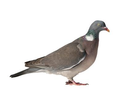 Cerrar vista lateral de la paloma torcaz europea común hacia la derecha y aislado sobre fondo blanco. Foto de archivo