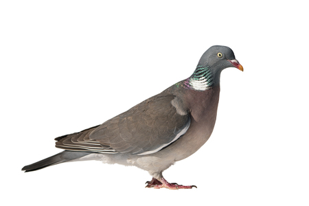 Close up side view of common european wood pigeon facing right and isolated on white background