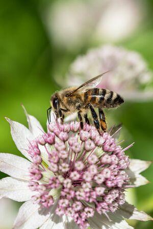 Bouchent la vue latérale de l'abeille au-dessus de la fleur d'astrantia avec d'autres fleurs dans l'arrière-plan flou Banque d'images