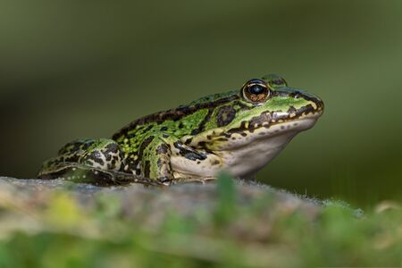 Green european frog on a rock in beautiful light on land facing right seen from low angle 写真素材
