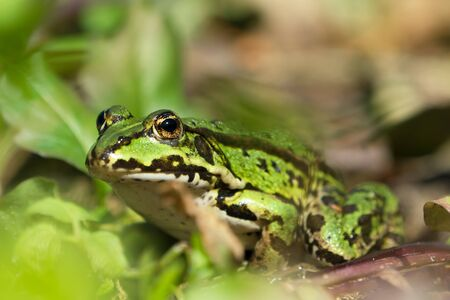 Green european frog on land in natural vegetation facing left 写真素材