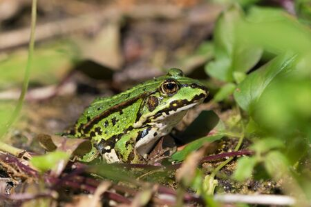 Green european frog on land in natural vegetation facing right and ready to jump