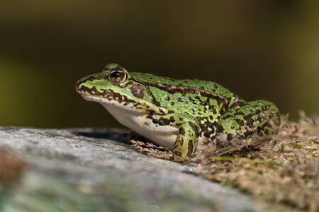 Green european frog on a rock with dry moss on land facing left seen from low angle