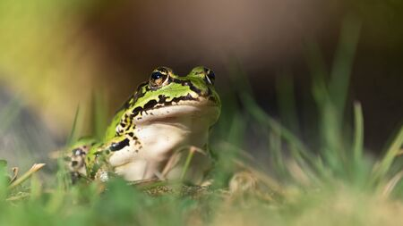 Green european frog sitting upright on land in natural vegetation facing right and ready to jump