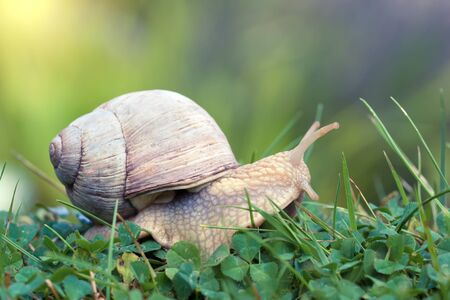 Side view af roman snail or escargot crawling on clover leaves and grass 写真素材