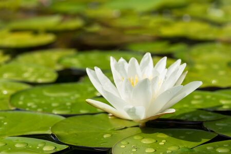 White water lily flower and green leaves in a pond after rain seen from low angle