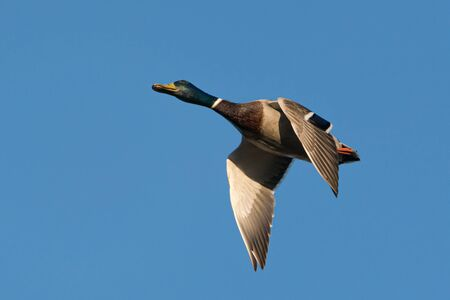 Close up of a mallard male duck under a clear blue sky in early morning light Standard-Bild