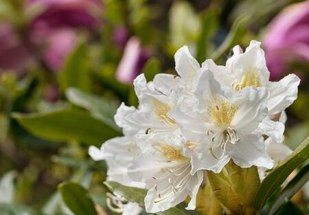 Close up of white rhododendron flower in lower right corner with red magnolia flowers in the blurred background Banque d'images