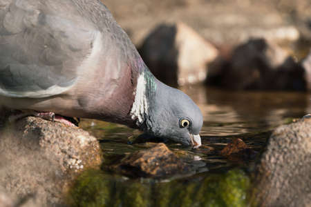 Close up side view of wood pigeon facing right drinking water from a pond with dry brown background