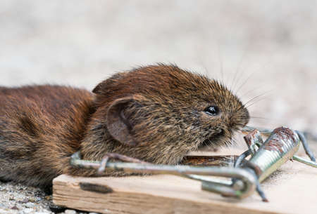 Close up of Small bank vole mouse front part dead in an old wooden snap trap seen from the side at low angle Foto de archivo