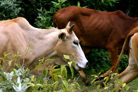 Magere Stieren in Afrika