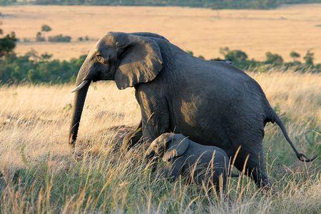 Elephants in Africa 版權商用圖片