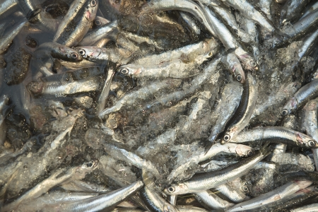 european anchovy: Fresh anchovies in market at Malaga, Spain  The European anchovy Engraulis encrasicolus is a forage fish somewhat related to the herring