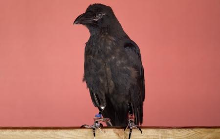 Black Crow Stock Photo - 16614762