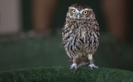 athene: Little Owl or Athene noctua