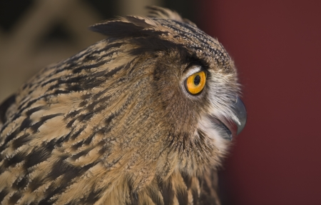 diurno: The Eagle Owl, a very large and powerful bird, sometimes referred to as the world
