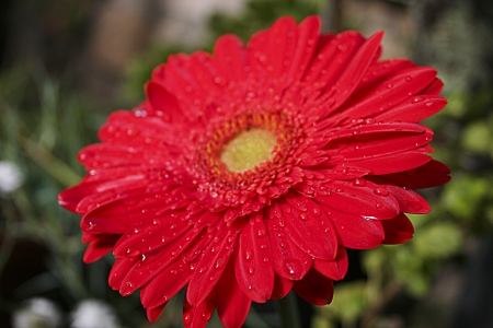 diurno: Red flowers with water drops Stock Photo