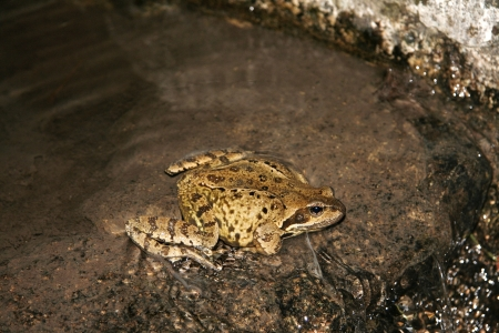 pyrenean: Pyrenean Frog laying eggs in a river of Vall de Bo