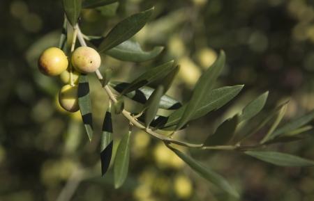 plants species: Un ramo di ulivo con alcuni frutti