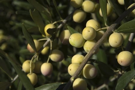 plants species: Two bunches of green olives