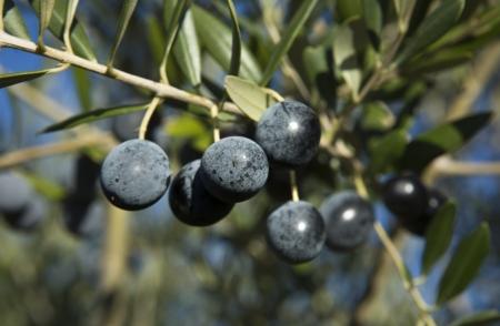 plants species: Ramo di olive viola