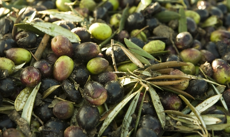 plants species: La raccolta delle olive