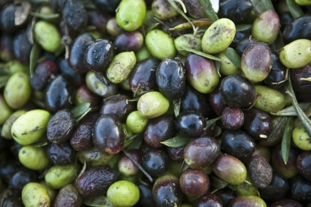 plants species: Raccolta delle olive
