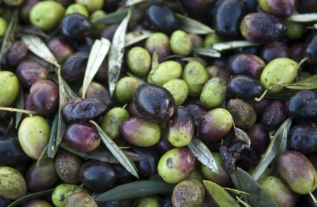 Loads of green and purple olive fruits photo