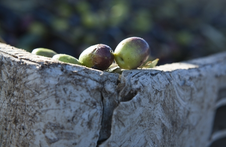 plants species: Olives at the edge of the container Stock Photo