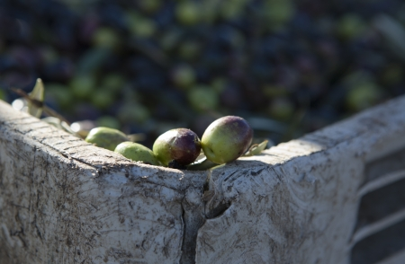 plants species: Olive al bordo del contenitore