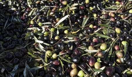 plants species: Olives before be cleaned