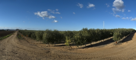 plants species: Intensivo olivo Plantage, Badajoz, Spagna