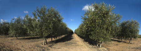 plants species: Intensivo olivo Plantage, Badajoz, Spagna