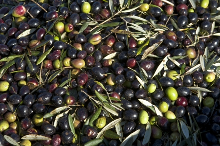 plants species: Un sacco di olive con alcune foglie, Badajoz, Spagna