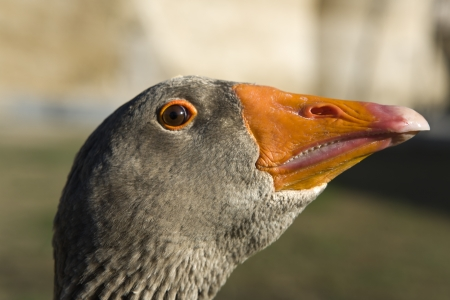 goose head: Funny goose head with look of sly rogue is looking at camera  Beautiful orange beak