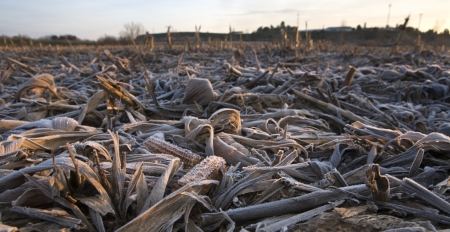 plants species: Frost corn ears leaves after the harvest