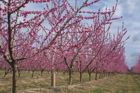badajoz: Tree lines in Bloom Stock Photo