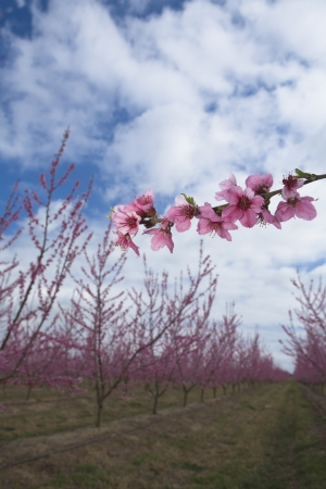 Branch of Peach tree photo