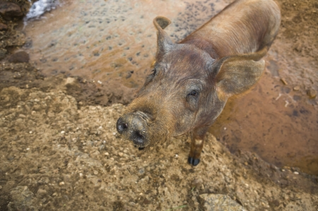 young pig: Black Iberian Young Pig Stock Photo