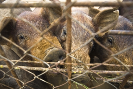 piglets: Piglets behind the fence