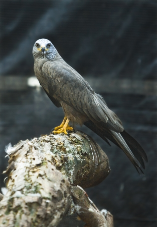 black kite: Male mature of black kite