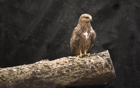 black kite: Black kite young
