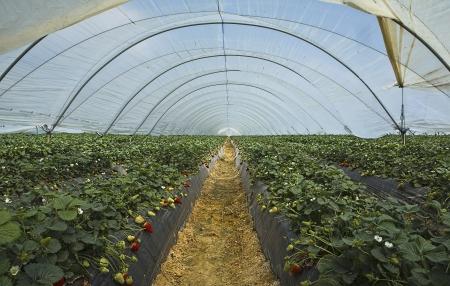 plants species: Strawberry cultivation in Huelva Stock Photo