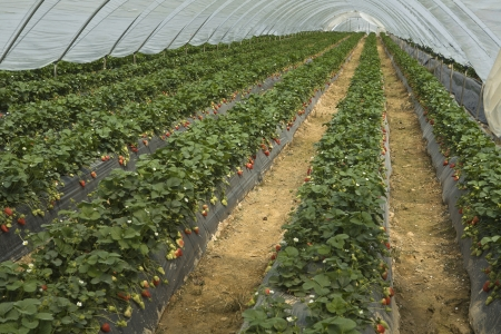 furrows: Strawberry production