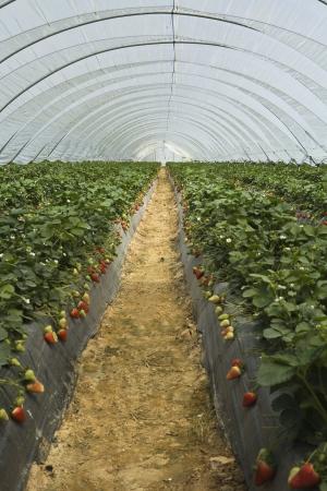 furrows: strawberry furrows Stock Photo